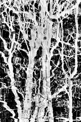 ghostly trees (Francis Mansell) Tags: tree negative abstract monochrome blackwhite niksilverefexpro2