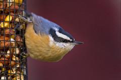close as i can get (G_Anderson) Tags: nuthatch bird missouri irruption migration winter birding urban