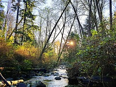 The creek at sunset (walneylad) Tags: mahonpark northvancouver britishcolumbia canada park parkland woods woodland forest urbanforest rainforest trees leaves ferns trail path creek water rocks november fall autumn colour color brown green yellow sun sunset bluesky nature scenery view