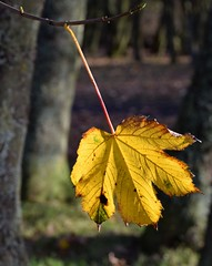 The last leaf on the tree (Lancs & Lakes Outback Adventure Wildlife Safaris) Tags: nikon 18300mm blackpool bispham devonshireroadrockgradens leaf autumn fall gold golden yellow sycamore d3300