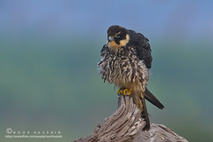 Eurasian Hobby. (Noor Hussain.) Tags: wildlifeofpakistan wildlife wwf wild white winter birdsofpakistan bbc bird blue bukkeh beak art air animal common contrast dof depthoffield detail disk eyes eagleowl earlymorning perfect feather firstraysoflight face fauna flower facial grey great himalayan habitat hills himalaya holiday iucn indus jungle sky pakistan nikkor nikon landscape light mountains nature natgeo noorhussain ngc noor national outdoor owl wildbird wildowl texture yellow hibou vulture rock grass eagle wood tree macro eurasian hobby eurasianhobby falco subbuteo falcosubbuteo falcon