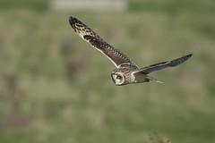 Short Eared Owl flypast (Ade Ludlam) Tags: short eared owl raptor bird prey somerset nature wildlife nikon d7200 sigma sigma150600