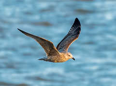 Dungeness 03.02.19 flying Gull