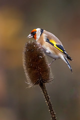 Goldfinch (Gary Neave.) Tags: goldfinch