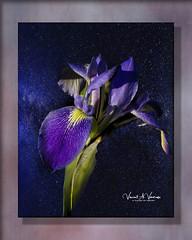 Wild Iris (Visions by Vincent) Tags: florida flowers frame iris topaz texture myakkariverstatepark fantasticnature greatphotographers ngc