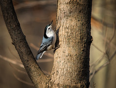 White Breasted Nuthatch,,,, (Kevin Povenz Thanks for all the views and comments) Tags: 2018 november kevinpovenz westmichigan michigan ottawa ottawacounty ottawacountyparks outdoors outside grandravinesnorth bird songbird tree light woods canon7dmarkii sigma150500 wildlife nature