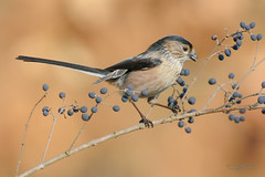 Codibugnolo (mauro.santucci) Tags: codibugnolo aegithaloscaudatus passeriforme uccelli uccello bird avifauna natura birdwatching wildlife wild