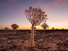 P1118655-LR (carlo) Tags: panasonic g9 dmcg9 africa africanlandscape namibia keetmanschoop quivertreeforest quivertree alberofaretra