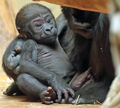 Western lowlandgorilla Boboto Krefeld 094A0630 (j.a.kok) Tags: animal africa afrika aap ape mammal monkey mensaap baby babygorilla boboto primate primaat zoogdier dier gorilla westelijkelaaglandgorilla westernlowlandgorilla lowlandgorilla laaglandgorilla krefeld