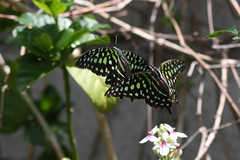 butterfly amed 25dec2018b3 (chrisandrew314) Tags: tailed jay graphium agamemnon butterfly bali amed indonesia