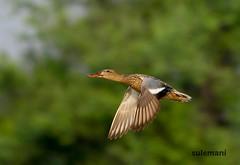 2E6A8739a (TARIQ HAMEED SULEMANI) Tags: sulemani tariq tourism trekking tariqhameedsulemani winter wildlife wild birds nature nikon