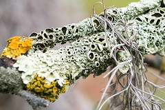 Garden Andrews G9 lichen AND_7732.jpg (st peters gardens armidale) Tags: 2018 church nature australia events gardenweekend urallashire towngarden thalophyta leecerd northerntablelands garden newengland plant macro flora nsw stpeters plantae plants gardenweekendflickr cryptogamae lichens uralla places fungi