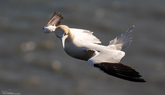 Gannet hovering in a strong wind (Steve (Hooky) Waddingham) Tags: stevenwaddinghamphotography animal planet countryside coast bird british nature flight fish wild wildlife bempton lackford lakes