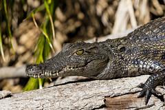 Coco (Jhaví) Tags: cocodrile okavangodelta botsuana africa trip travel safari water lake delta okavango cocodrilo animal wild wildlife reptil