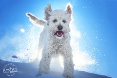 Picture of the Day (Keshet Kennels & Rescue) Tags: adoption dog ottawa ontario canada keshet large breed dogs animal animals pet pets field nature photography winter snow white goldendoodle play backlight sunshine sunny blue sky clear cold spray hill fun happy smile