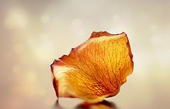 Dried single rose petal (Through Serena's Lens) Tags: smileonsaturday onesinglepetal macro rosepetal bokeh dof dried wrinkle canoneos6dmarkii texture