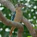 Blue Winged Kookaburra (Dacelo leachii leachii) - Fogg Dam, NT, Australia