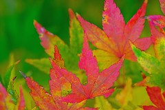 Autumnal Kaleidoscope (F0t0graphy) Tags: autumn leaf leaves fall maple tree abstract canada victoria britishcolumbia jamesbay beaconhill park nikkor nikon