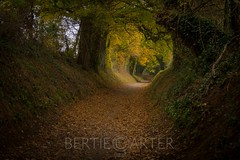 Halnaker tree tunnel (bertie.carter.photography) Tags: halnaker tree tunnel west sussex landscape autumn autumnal leaves yellow country side british wood forest