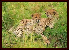 FEMALE CHEETAH WITH HER CUB (Acinonyx jubatus).....MASAI MARA....SEPT 2017. (M Z Malik) Tags: nikon d3x 200400mm14afs kenya africa safari wildlife masaimara keekoroklodge exoticafricanwildlife exoticafricancats flickrbigcats cheetah acinonyxjubatus ngc