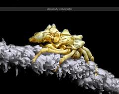 xeno crab. lembeh. indonesia. (atmozcubephotography) Tags: xeno crab indonesia diving macro underwatercamera paditv wideanglelens underwaterphotographer underwaterphotography macroworld underwaterpics underwaterphoto atmozcubephotography wideangle wideanglephotography padi picoftheday lembeh divingpartner ssi plongée macrounderwaterphotography дайвинг 潜水 ダイビング photodaily teamcanon nikonphotography