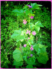 Common Mallow (Julie (thanks for 8 million views)) Tags: commonmallow malvasylvestris wildflower 100flowers2018 hggt green pink tinternwoods iphonese wexford ireland irish flora