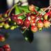 Japanese coralberry (Christine_S.) Tags: ardisiacrispa マンリョウ coralberry japan nature garden olympus omd em10markiii rain water raindrops manryo