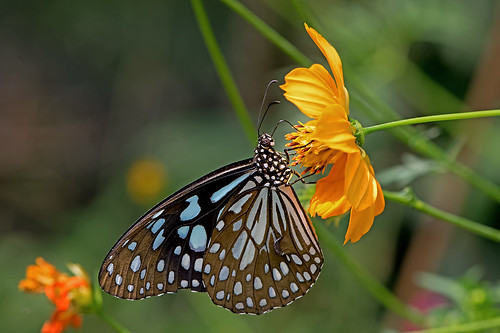 Tirumala limniace - the Broad Blue Tiger (male)