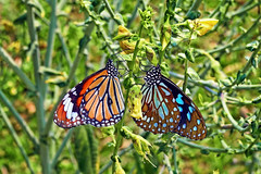 Together !! (Lopamudra !) Tags: lopamudra lopamudrabarman lopa butterfly tiger bluetiger stripedtiger jayanti forest nature wilderness india westbengal foliage jungle portrait colour color colours colourful cold insect beauty beautiful duars dooars