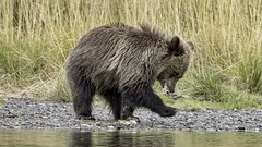 It's A Matter Of Footwork (gecko47) Tags: animal mammal omnivore bear cub northamericanbrownbear grizzlybear ursusarctos food fish salmon chilkoriver cariboo britishcolumbia water river grass riverbank