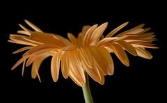 Gerber in December (pasquale di marzo) Tags: flowers fiore gerbera gialla interno colore macro dicembre 2018