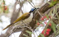 Blue-faced Honeyeater (petefeats) Tags: atkinsondam australia birds bluefacedhoneyeater entomyzoncyanotis meliphagidae nature passeriformes queensland
