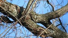 Male Pileated Woodpecker_6805.mp4 (Henryr10) Tags: ottoarmlederpark hamiltoncountyparkdistrict cincinnati ottoarmledermemorialpark armlederpark littlemiamiriver greatparksofhamiltoncounty usa beanfield overlookwoods pileatedwoodpecker dryocopuspileatus dryocopus pileatus bird woodpecker avian vogel ibon oiseau pasare fågel uccello tékklistar piwo