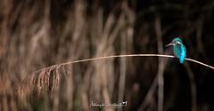 She Can Reed..... (Anthony de Schoolmeester) Tags: kingfisher perch waterbirds wildlife wildbird wildlifephotography nature naturephotography nikon nikond500 nikonafs20050056e reed forestfarm cardiff wales welshwildlife bird fishing