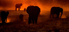 Elephants from hell (Thomas Retterath) Tags: thomasretterath chobe afrika africa botswana 2018 safari nopeople natur nature wildlife fluss river stoszähne loxodontaafricana bigfive africanelephant elefant elephantidae pflanzenfresser herbivore säugetier mammals animals tiere tusks trunk sundown sonnenuntergang sunset boot boat staub dust colours farbe orange gelb yellow rot red fotocompetition fotocompetitionbronze coth5