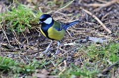 J78A0757 (M0JRA) Tags: rspb birds fields gardens animals parks wild bird grass food soil flowers trees