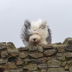 jump into the new year (dewollewei) Tags: scarlett old english sheepdog oes bobtail dog jump