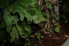 Sombras (José Ramón de Lothlórien) Tags: hojas treboles ramas flores plants sol verde green follage nature naturaleza
