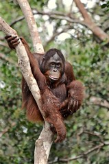 Man of the Forest (The Spirit of the World ( On and Off)) Tags: manoftheforest orangutan tree forest primate rainforest endangeredspecies jungle asia indonesia wildlife nature borneo tanjingputingnationalpark