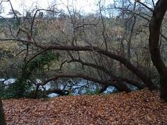 Bowed barrier (Phil Gayton) Tags: water leaves foliage tree autumn fall riverside walk river dart totnes devon uk