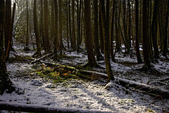 Bunte Lücke im Schnee (Helmut Reichelt) Tags: lücke bunt wurzeln verschneit alterwald sonne wald winter schnee stämme november herbst schwaigwall geretsried bayern bavaria deutschland germany leica leicam typ240 captureone11 dxophotolab leicasummilux35mmf14asphii