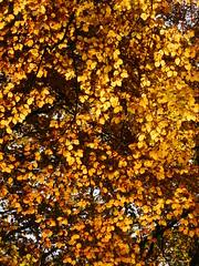 Golden canopy (EvelienNL) Tags: tree trees autumn fall leaves leafs herfst herfstblad herfstbladeren herfstkleuren bladeren sunshine sunlight sunlit backlit zonneschijn zonlicht tegenlicht beech beuk beukenboom branches twigs takken boomtak takjes texture textuur yellow geel gele orange oranje