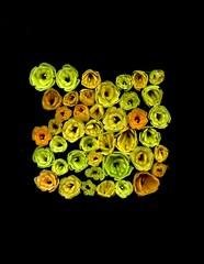 59292.01 Hemerocallis (horticultural art) Tags: horticulturalart hemerocallis cutflowers base
