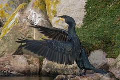 Grand cormoran - Explored (Oric1) Tags: 22 canon côtesdarmor france oric1 pléneufvalandré armorique bird breizh bretagne brittany eos oiseau cormorant cormoran ornithologie ornithology watching