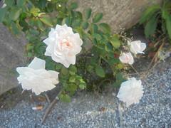 630 (en-ri) Tags: rose roses bianco verde foglie leaves sony sonysti cespuglio bush asfalto