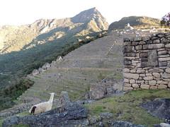 Machu Picchu (Anita363) Tags: llama terraces terracing machupicchu peru unescoworldheritagesite inca incan archaelology