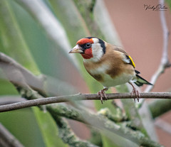 Goldfinch (vickyouten) Tags: goldfinch finch nature wildlife britishwildlife wildlifephotography nikon nikond7200 nikonphotography nikkor55300mm myparentsgarden warrington uk vickyouten