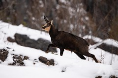 Chamois (fascinationwildlife) Tags: animal mammal wild wildlife winter snow cold chamois gämse gemsbock gemse buck rock hill slope nature natur national park berchtesgaden bayern bavaria deutschland germany southern elusive shy alps alpine alpen berge