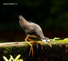 IMG_6350  White-breasted Waterhen (Amaurornis phoenicurus) (vlupadya) Tags: greatnature animal aves fauna indianbirds whitebreasted waterhen amaurornis kundapura karnataka