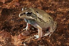 Daly Waters Frog (Cyclorana maculosa) (Jordan Mulder) Tags: daly waters frog burrowing cyclorana maculosa amphibian wildlife topend